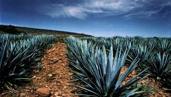 Case study on tequila and appellations of origin